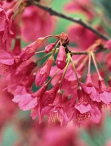 Taiwanese_cherry_flowers