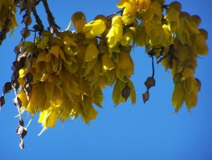 Kowhai flowers in a blue sky.